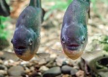 Dwa piranha ryba w wodzie zamkniętej w górę zdjęcie stock