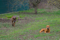 Dwa pit bull Zdjęcie Royalty Free