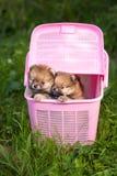 Dwa pomorzanki szczeniak w różowej skrzynce fotografia stock