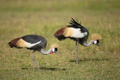 Dwa Popielatego Koronowanego żurawia w Amboseli, Kenja Zdjęcia Royalty Free