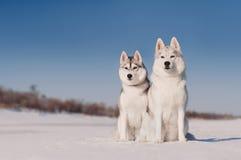 Dwa popielatego siberian husky siedzi, śnieżny tło fotografia royalty free