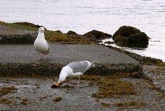 Dwa popielaty i biali denni ptaki je kraba w kolumbia brytyjska obrazy royalty free