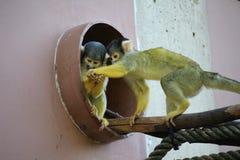 Dwa Popierająca wiewiórcza małpa zdjęcie royalty free