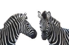 Dwa portretów zebra Fotografia Royalty Free