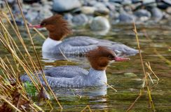 Dwa pospolitej nurogęsi unoszą się wśród płoch na jasnej wodzie Goldstream rzeka zdjęcie royalty free