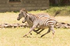 Dwa potomstw zebry cwałowanie wpólnie obok budynku Fotografia Royalty Free