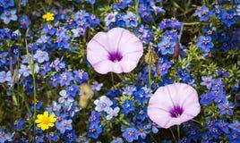 Dwa powojów althaeoides menchii kwitnie na polu Anagallis monelli błękitni dzicy kwiaty Zdjęcie Stock