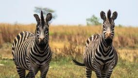 Dwa przylądek halnej zebry pasa przy Liuwa równiny parkiem narodowym obraz stock
