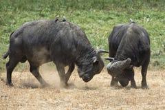 Dwa przylądka bizonu butting głowy z małymi ptakami na ich plecy Zdjęcia Stock