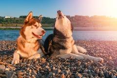 Dwa psów łuskowaty wycie podnosi ich kaganów up obrazy stock