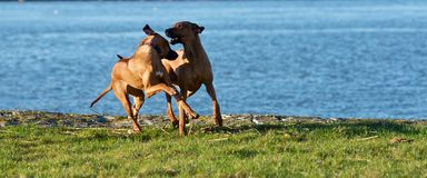 Dwa psów bawić się Zdjęcie Stock