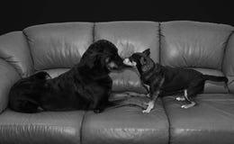 Dwa psów nos Ostrożnie wprowadzać Zdjęcia Stock
