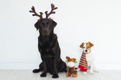 Dwa psów portreta czerni śmieszny labrador z brązu renifera rogami i śliczny mały pies z elfem okaleczamy czerwień i zieleń renif obraz royalty free