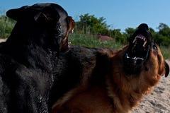 Dwa psów przedstawień wielka siła Fotografia Stock