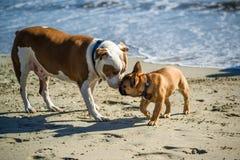 Dwa psów spotkanie na pies plaży zdjęcia royalty free