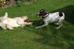 Dwa psów sztuka, jeden obracał Fotografia Stock