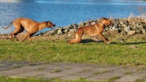 Dwa psów target1124_1_ Zdjęcie Royalty Free