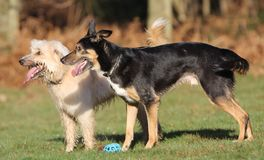 Dwa psów target891_1_ Zdjęcia Stock
