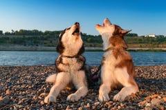 Dwa psów wycie podnosi ich kaganów up Piękny Syberyjski husky wy kłamać na gontu brzeg rzeki w pomarańczowym promienia położenia  obrazy stock