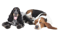 Dwa psa (baseta ogar Cocker Spaniel i angielszczyzny) Zdjęcie Royalty Free