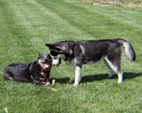 Dwa psa bawić się w trawie Fotografia Royalty Free