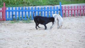 Dwa psa bawić się z each inny podczas gdy walczący w piasku zdjęcie wideo