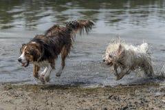 Dwa psa biega w wodzie zdjęcia royalty free