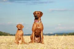 Dwa psa dorosły i szczeniak fotografia royalty free