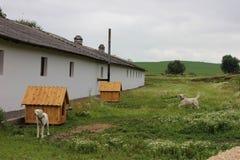 Dwa psa dzierżawiącego psiarni gospodarstwa rolnego dom blisko Fotografia Stock