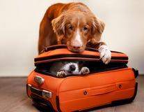 Dwa psa i walizka obrazy stock