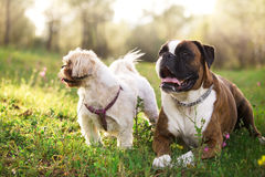 Dwa psa kłama outdoors Obrazy Royalty Free