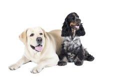 Dwa psa (Labrador Retriever Cocker Spaniel i angielszczyzny) Zdjęcie Royalty Free