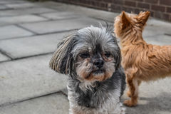 Dwa psa stoi na zewnątrz domu Fotografia Royalty Free