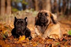 Dwa psa target562_1_ wpólnie w jesień liść Zdjęcie Stock