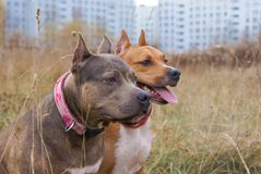 Dwa psa traken Amerykański Staffordshire Terrier Zdjęcia Royalty Free