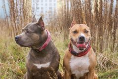 Dwa psa traken Amerykański Staffordshire Terrier Zdjęcia Stock