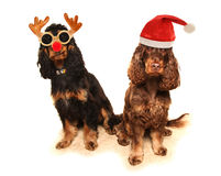 dwa psa w galanteryjnej sukni Fotografia Royalty Free