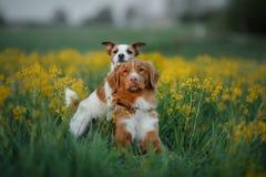 Dwa psa w kwiatu polu Zdjęcie Royalty Free