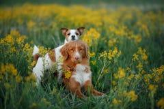 Dwa psa w kwiatu polu Obrazy Royalty Free