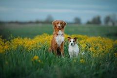 Dwa psa w kwiatu polu Zdjęcia Stock