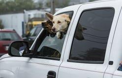 Dwa psa wtykają ich przewodzą out samochodowego okno Obraz Royalty Free