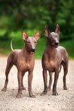 Dwa psa Xoloitzcuintli stoi outdoors na letnim dniu hodują, meksykańscy bezwłosy psy Fotografia Royalty Free
