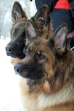 dwa psy Obraz Stock