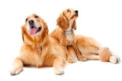 dwa psy Zdjęcie Royalty Free