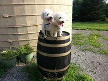 dwa psy Fotografia Stock