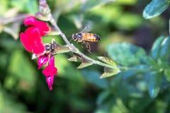 Dwa pszczół współzawodniczyć Obrazy Royalty Free