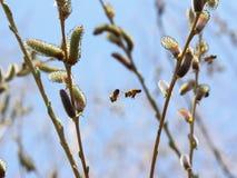 Dwa pszczoły latają w drzewach Zdjęcie Royalty Free
