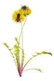 Dwa pszczoły na żółtych jaskrawych dandelions obraz royalty free
