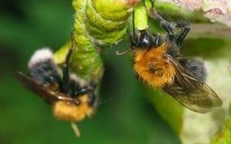 Dwa pszczoły na zielonym liściu Fotografia Royalty Free