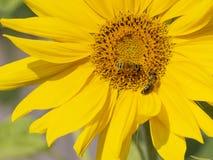 Dwa pszczoły siedzą na kwiacie zdjęcia royalty free